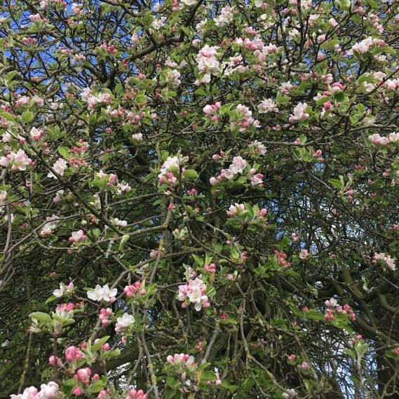 Apfelbaum in Blüte, Blick nach oben in zart blühenden Apfelbaum