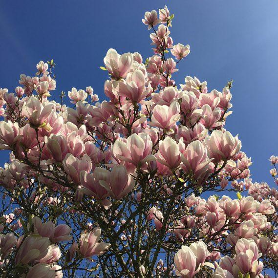 Magnolienbaum in schönster Blüte