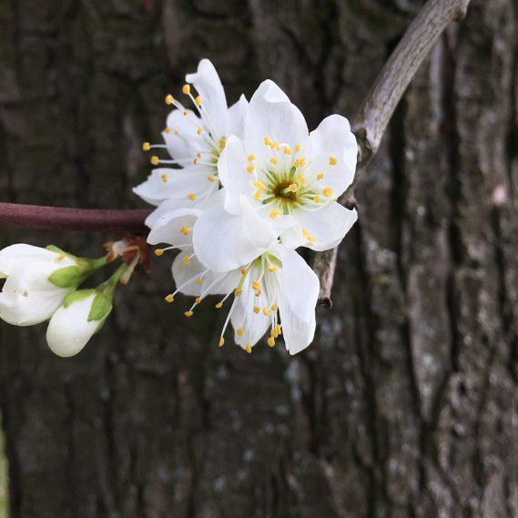 Einzelne Pflaumenblüte vor Baumrinde
