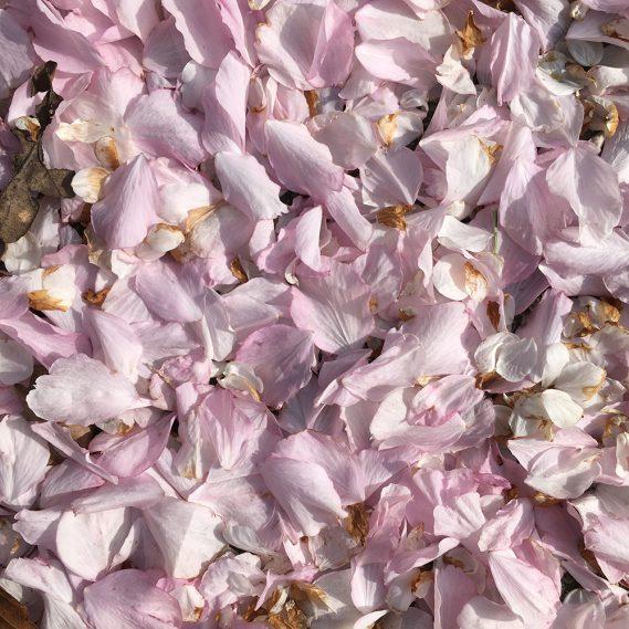 Rosa Blütenkonfetti, Draufblick rosa Blütenblätter