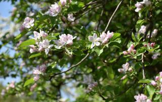 Apfelbaum, Frühling, Draussenzeit, Gartenzeit, Draussen sein