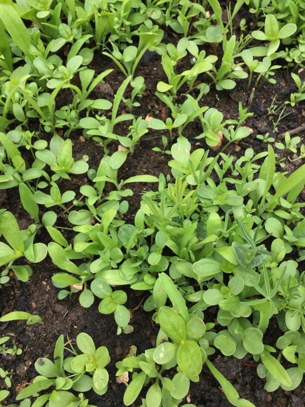 Aufgehende Saat, Blumen, Bienenrettung, Gartenlust, grüner Daumen
