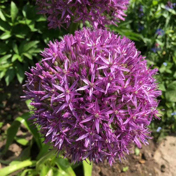 Blühende Lila Kugelblüte Agapanthus?, Blumenliebe, Gartenfreund, Sommer, Draussenzeit