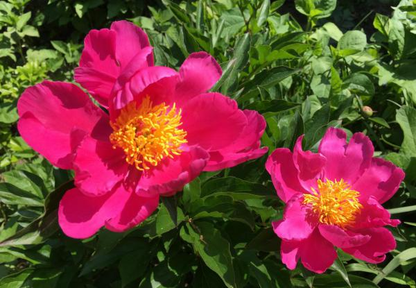 Pfingstrosen, Lieblingsblumen, Mai, Blumenliebe, Gartenglück