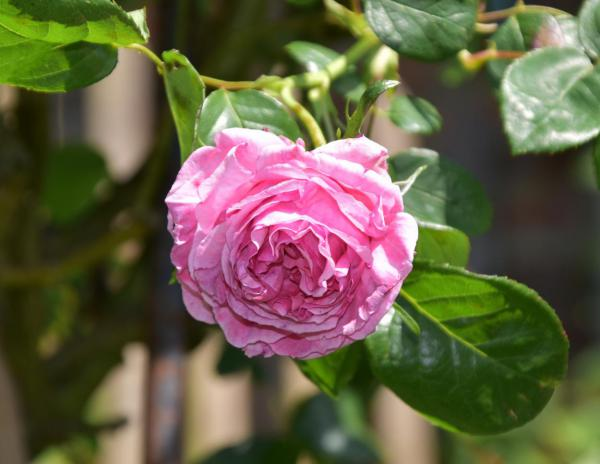 Blumenliebe, rosa Rose, Gartenfreund