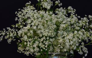 Unkraut, wilde Möhre, weiße Blüten, Blumenliebe, Frühling, Mai