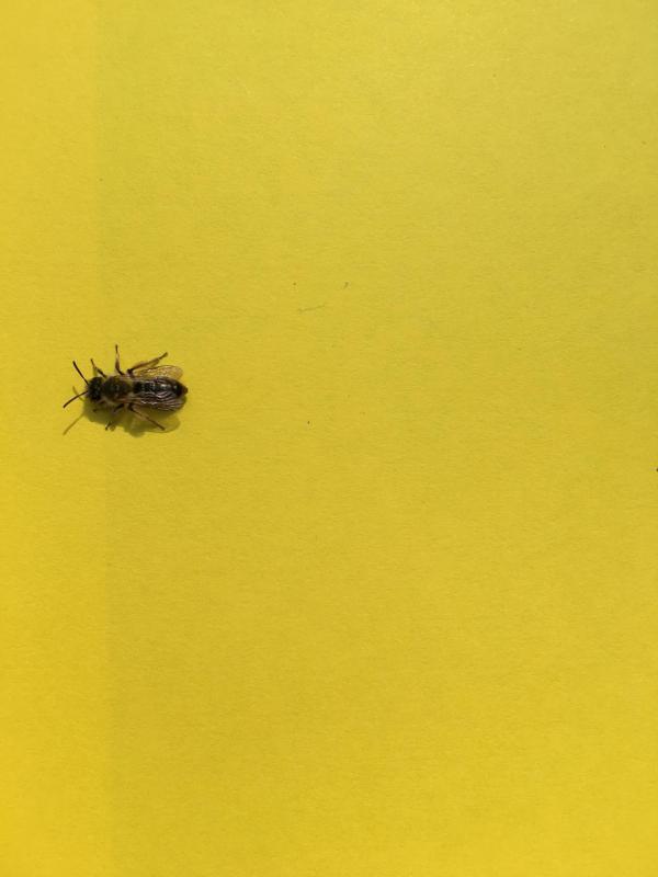 Biene auf gelbem Papier, Insekt, Bienenrettung, Herzensangelegenheit, Naturschutz, im kleinen beginnen
