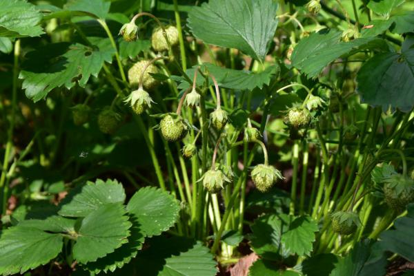 Erdbeeren, lecker, aus eigenem Anbau, Gartenglück, Hochbeet, Ernte, grüner Daumen