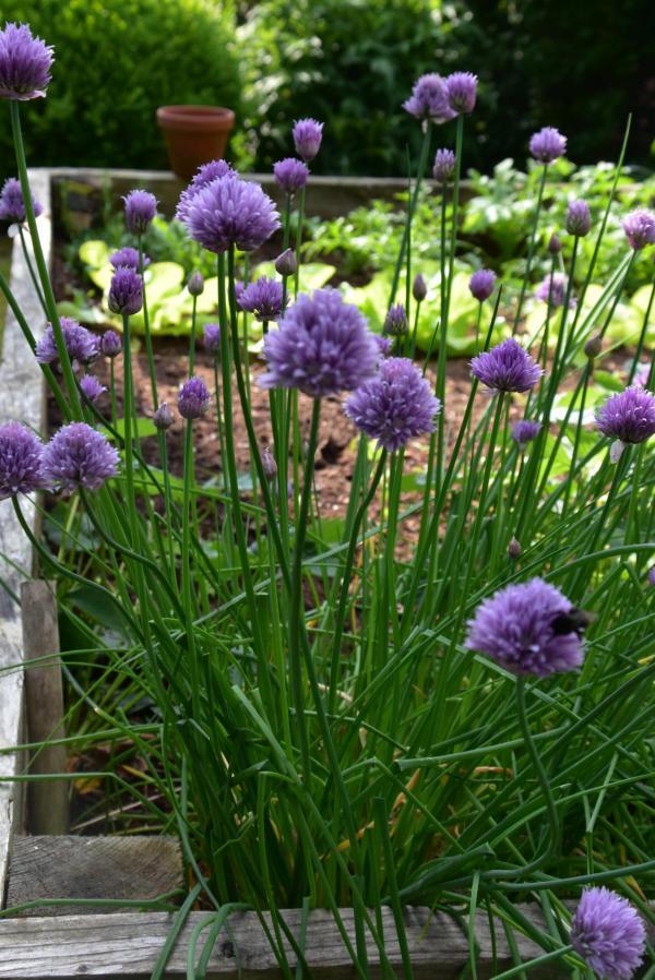 Hochbeet, gärtnern, Gartenglück, Salat, Schnittlauch, floriert, der grüne Daumen, lecker, aus eigenem Anbau