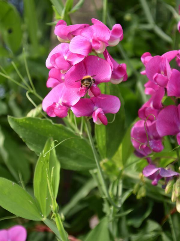 Duftwicke, pink, Lieblingsblumen, Gartenglück, la vie en rose