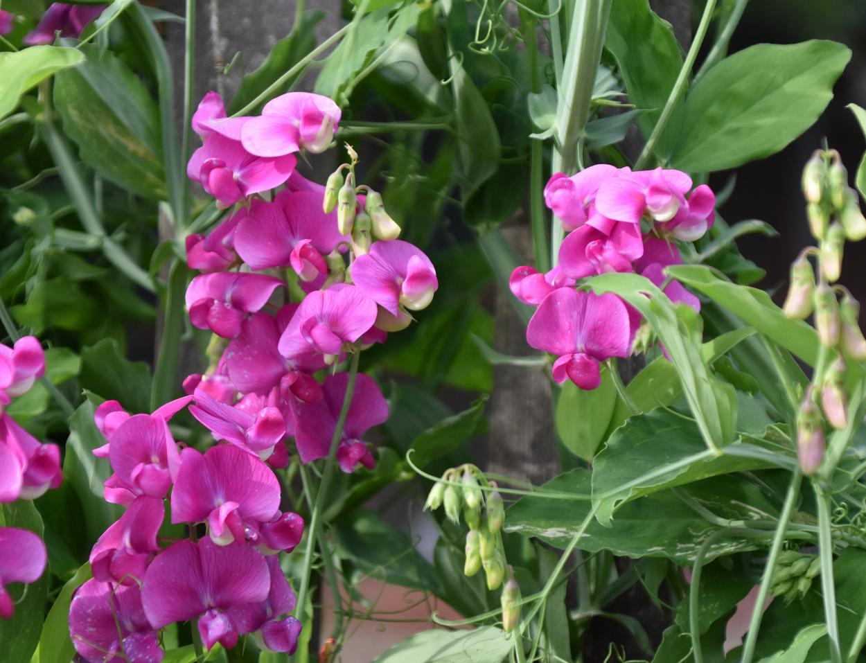 Duftwicken, Blumen, Gartenglück, Lieblingsblumen