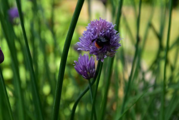 Schnittlauchblüte, Bienenrettung, Gartenglück, gesund, aus eigenem Anbau, Hochbeet