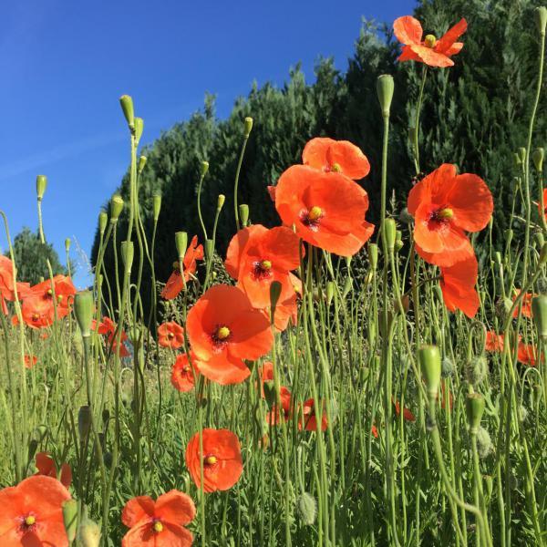 Mohnblumen, Sommer, Blumenliebe, am Wegesrand, Draussenzeit, Gartenzeit