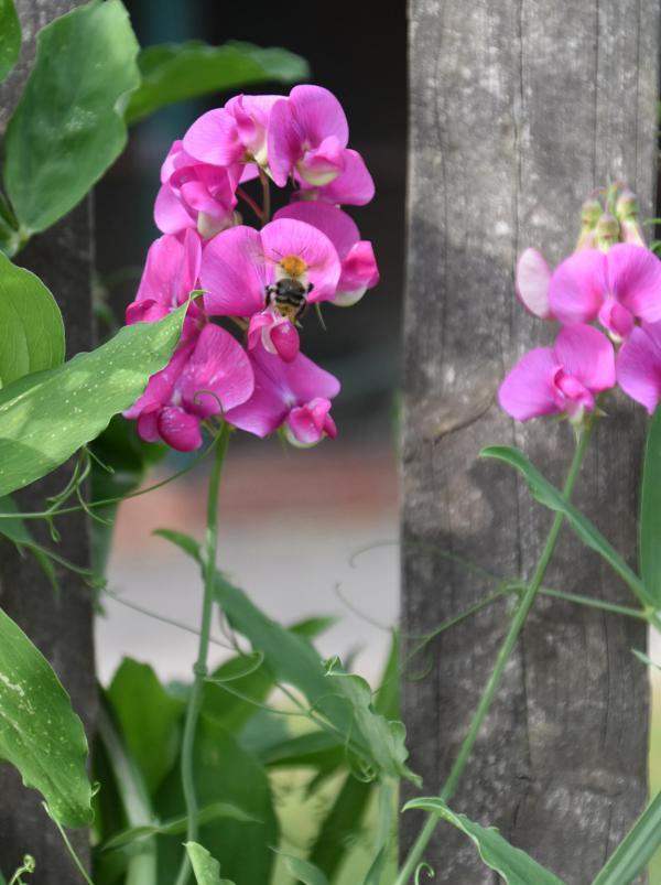 Duftwicke, pink, Lieblingsblume, Biene, Bienenrettung, Bienenglück, lecker, Sommer