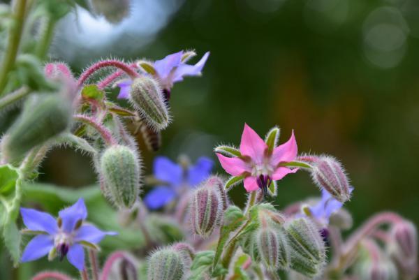 Borretsch, Gartenglück, Sommer, Bienenlieblingsblumen