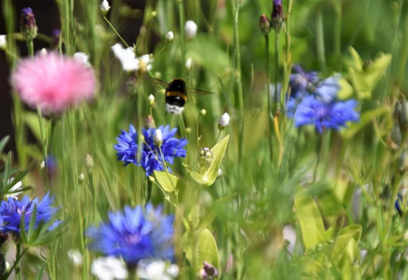 Bienenrettung, Bienenlieblingsblumen, lecker, Sommerglück, Honig sammeln, Blumenwiese