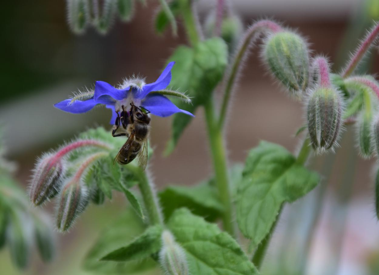 Borretsch, Biene, Gartenglück, Sommerliebe, Bienenglück, Bienenrettung