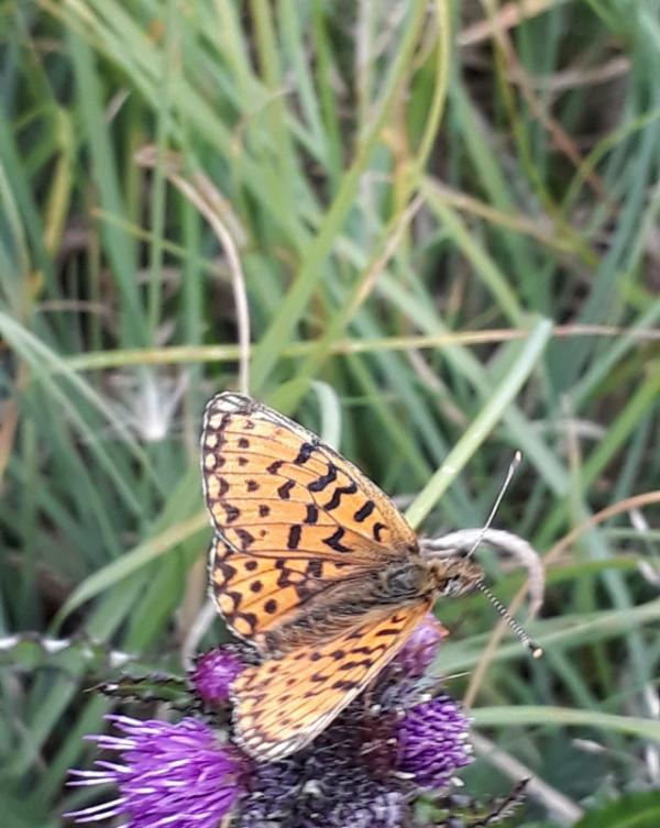 Schmetterling, Natur, Naturschutz, Insektenfreund