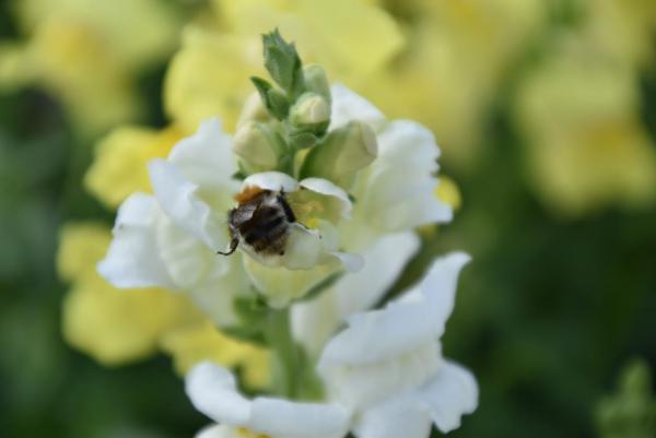 Löwenmäulchen, Biene, Bienenrettung, lecker, Blumenfeld, von Blumen und Bienen