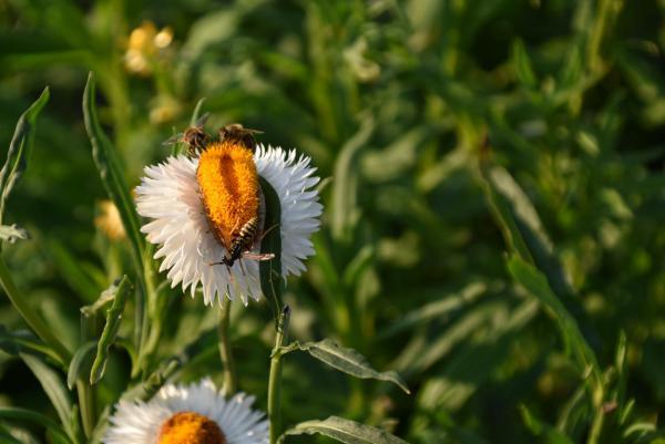Blumenfeld, Wespen, Insekten, Natur, Leben und leben lassen