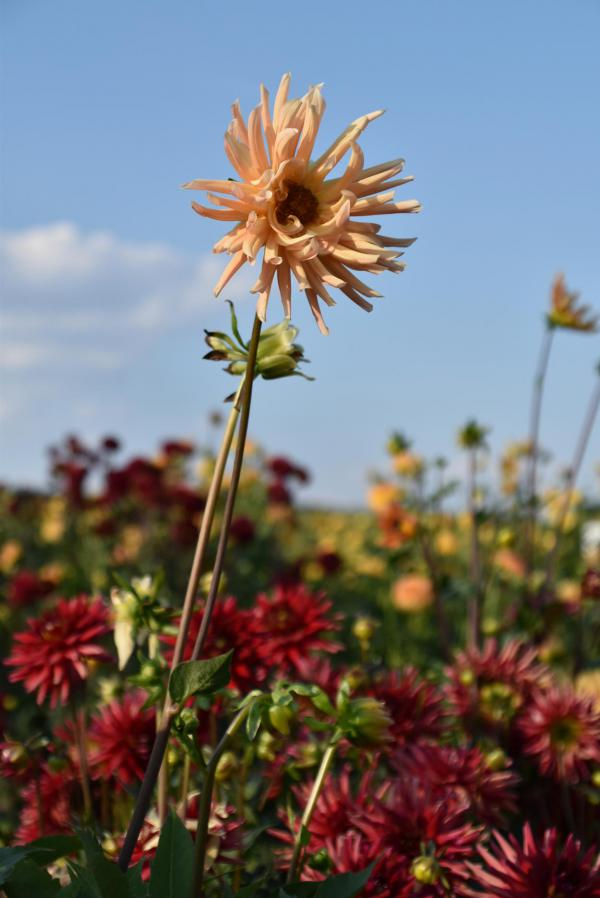 Blume, Dahlie, Blumenfeld, Selberpflücken, Spätsommer