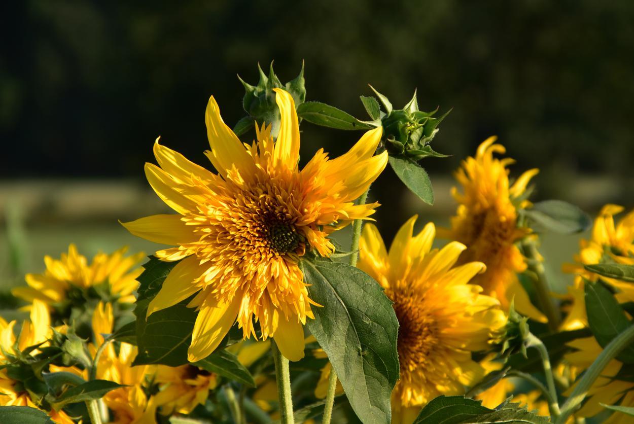 Sonnenblumen, Blumenfeld, Sommerglück, summervibes, sonnengeküsst, sunkissed, leicht gerupft