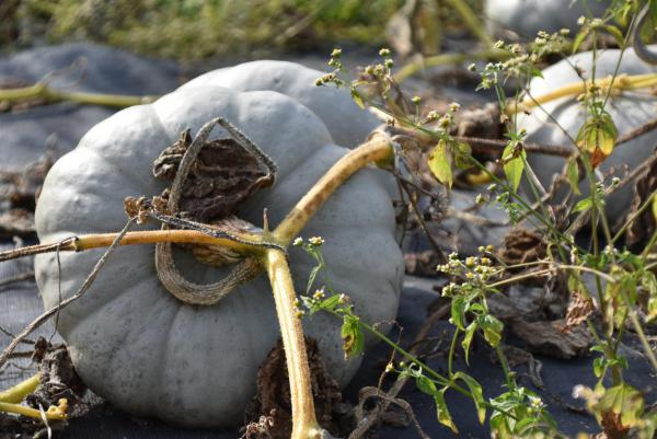 Grüner Kürbis, Herbst, lecker, Blumenfeld