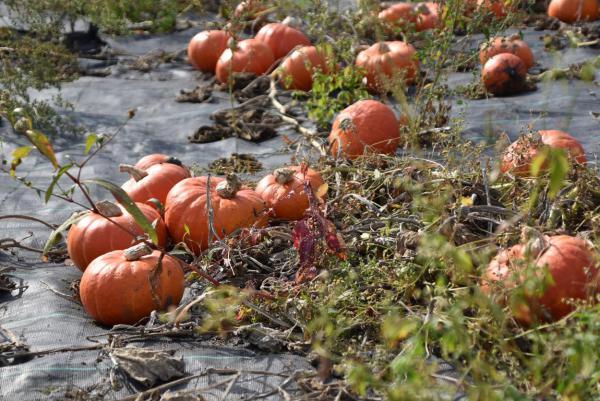 Kürbisfeld, Kürbisse, Herbst, Pummelchen, lecker