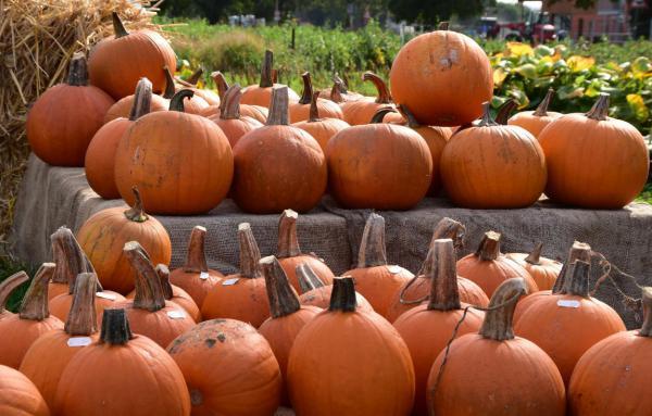 Kürbisparade, Orange Kürbisse auf 2 Etagen verteilt, Blumenfeld, Herbst, Spätsommer, Herbstküche