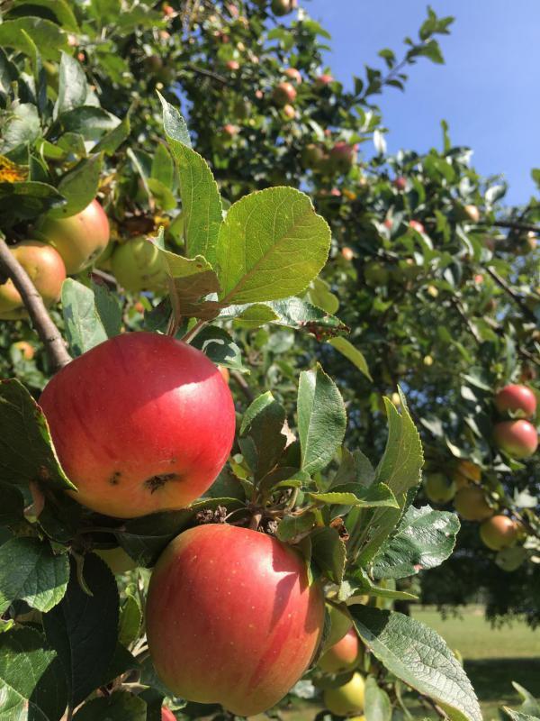 Apfel, Roter Apfel, Apfelbaum, Pummelchensaison, lecker