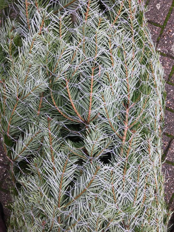 Tannenbaum, ungeschmückt, ins Netz gegangen, Weihnachten, Fest der Liebe
