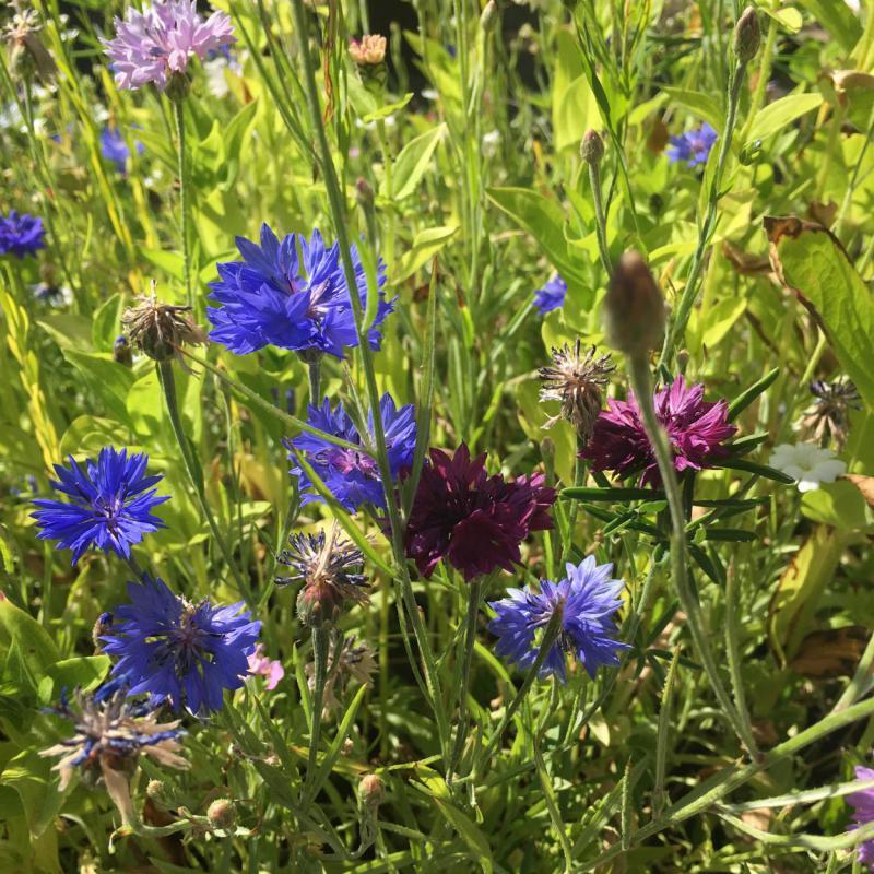 Bienenrettung, Bienenblumenwiese, lecker, Naturschutz, Augenschmaus
