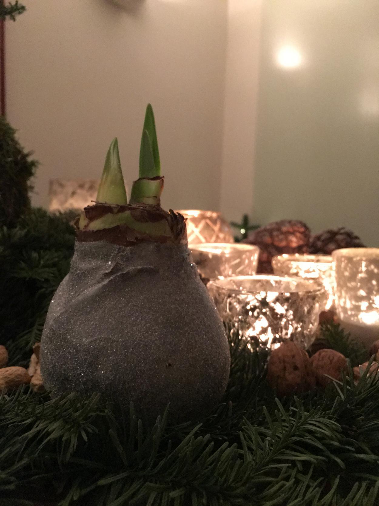 Gewachste Amarillis, Adventsteller, Kerzenschein, Weihnachten, Advent, Gemütlichkeit