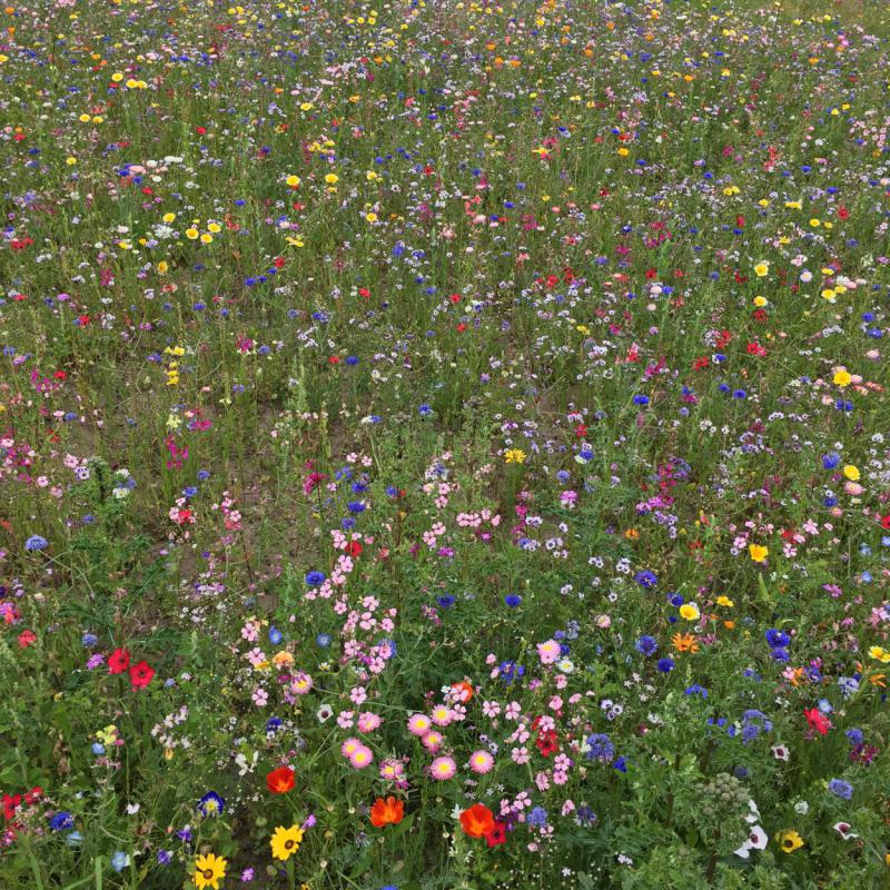 Bienenwiese, save the bees, Bienenrettung, Bienenlieblingsblumen