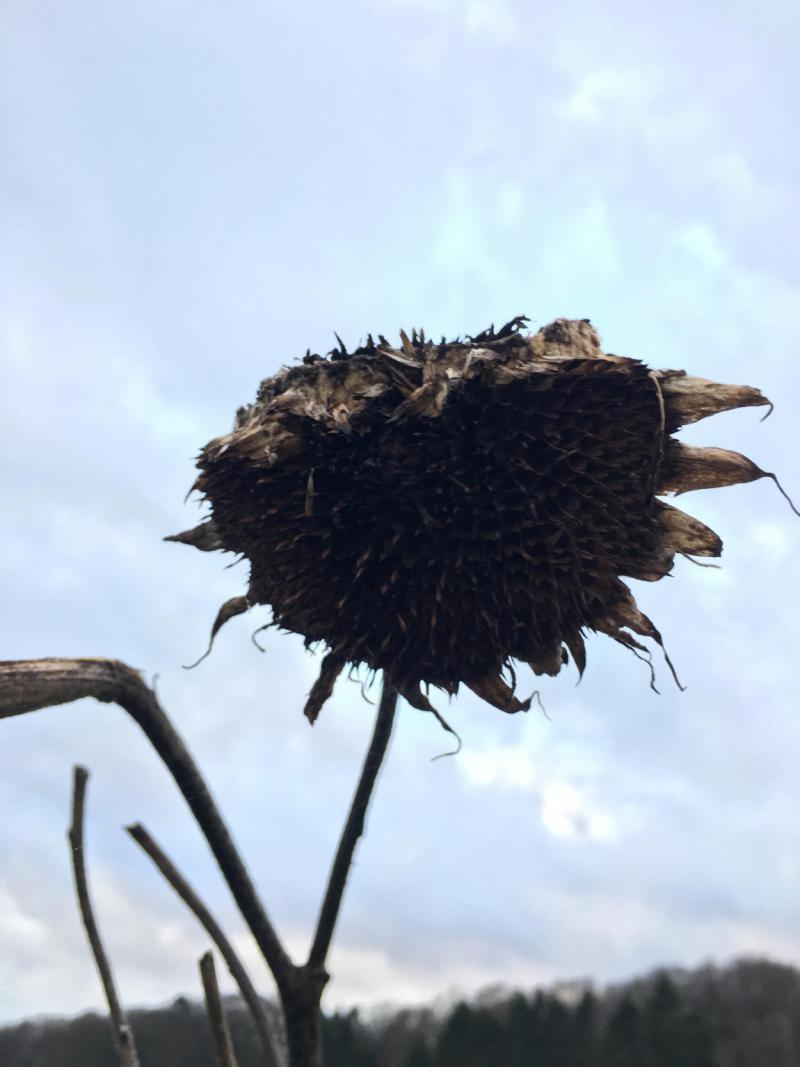 Sonnenblume verblüht, düster, traurig, dunkel, save the bees, Bienenrettung, selbstaussäend
