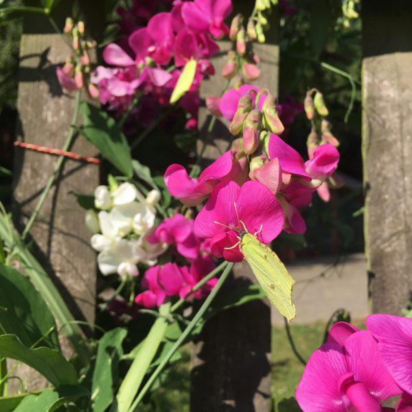 Schmetterling, Wicken, Blumen, Sommer