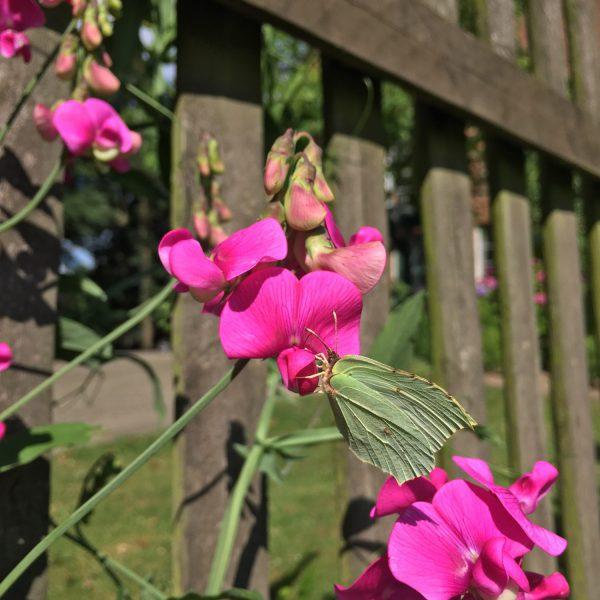 Schmetterling, pinke Wicke, insektenfreundlicher Garten, gegen den Insektenschwund