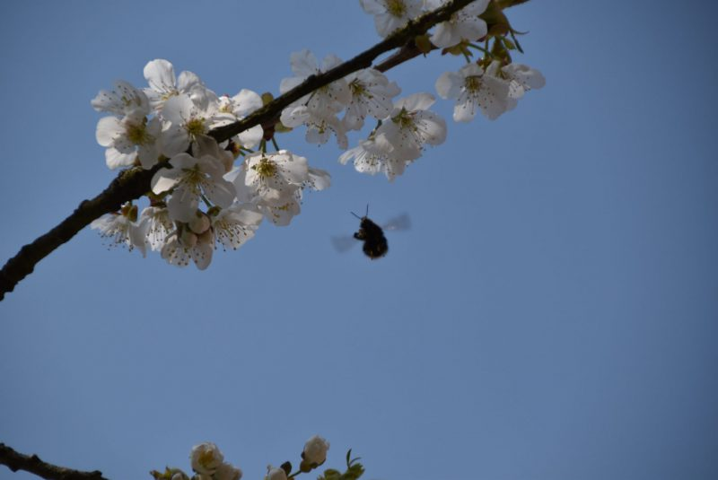 Kirschblüte, Biene, lecker, Bienenrettung, Bestäubung, Frühling, fleissige Bienen