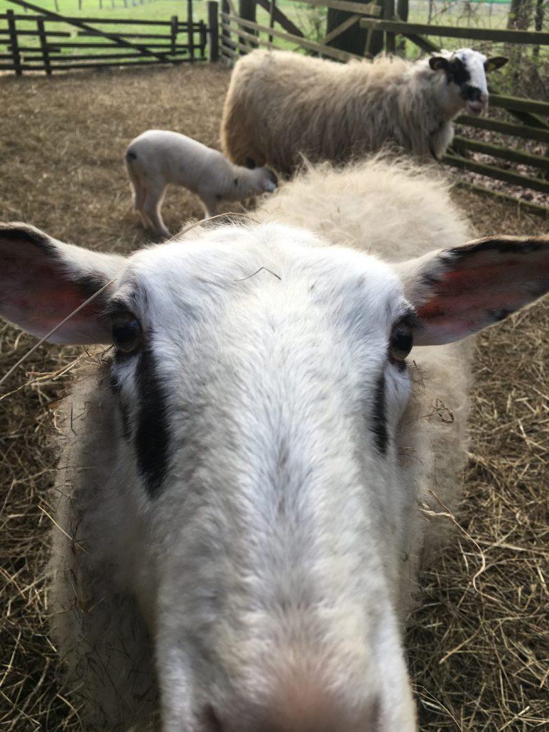 Schaf, Osterlamm, Mama, Paarungszeit, Frühling, Ostern