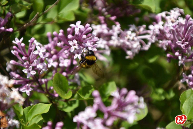 Biene, Save the bees, Biene an Flieder, bienenfreundliche Gärten