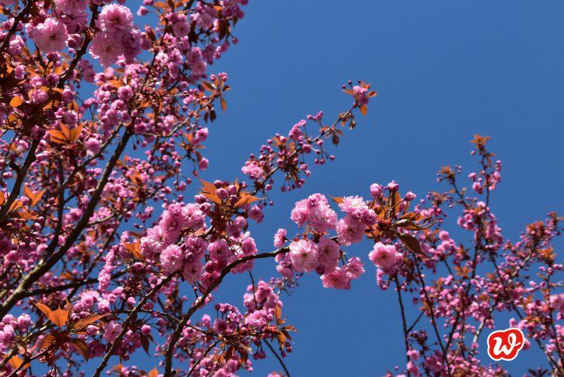 Mandelblüte, Frühling, Natur, Rosa