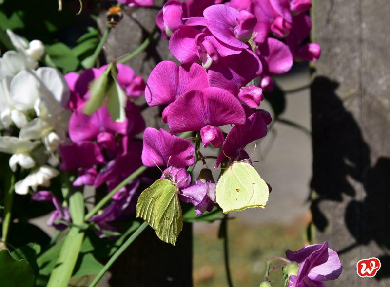 Zitronenfalter, Schmetterlingsgarten, Wicken, Insektenschutz, insektenfreundliche Gärten
