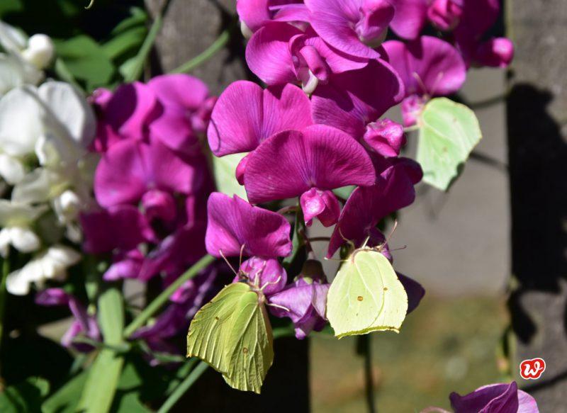Schmetterlinge, Zitronenfalter, Natur, Schmetterlingsrettung, Wicken