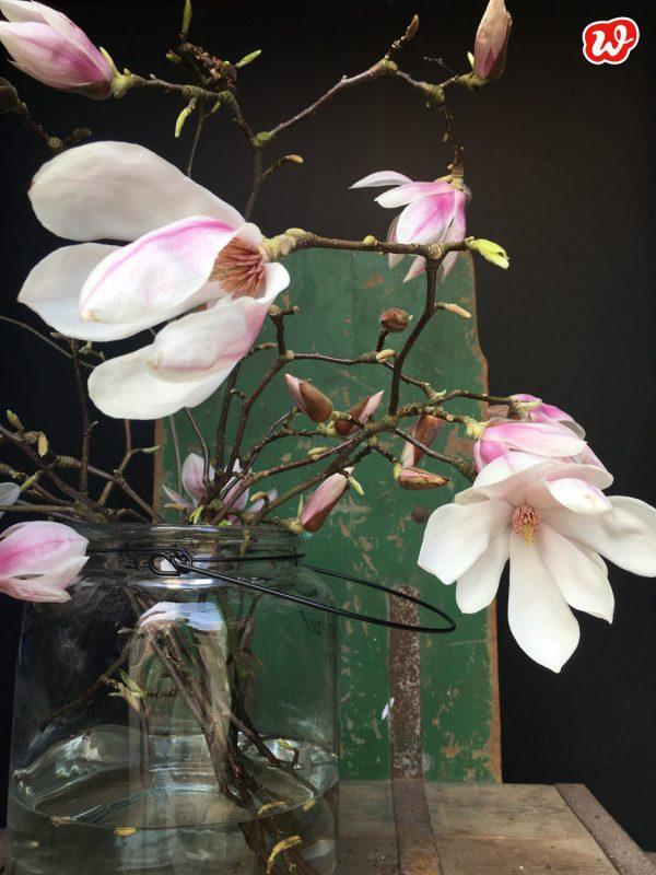 Blühende Magnolien auf grüner Waage