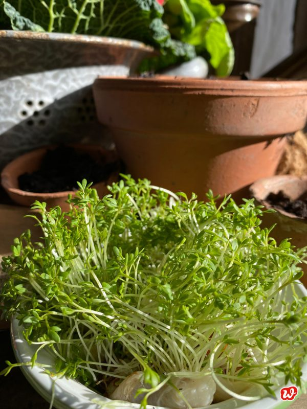 Knackige, grüne Gartenkresse